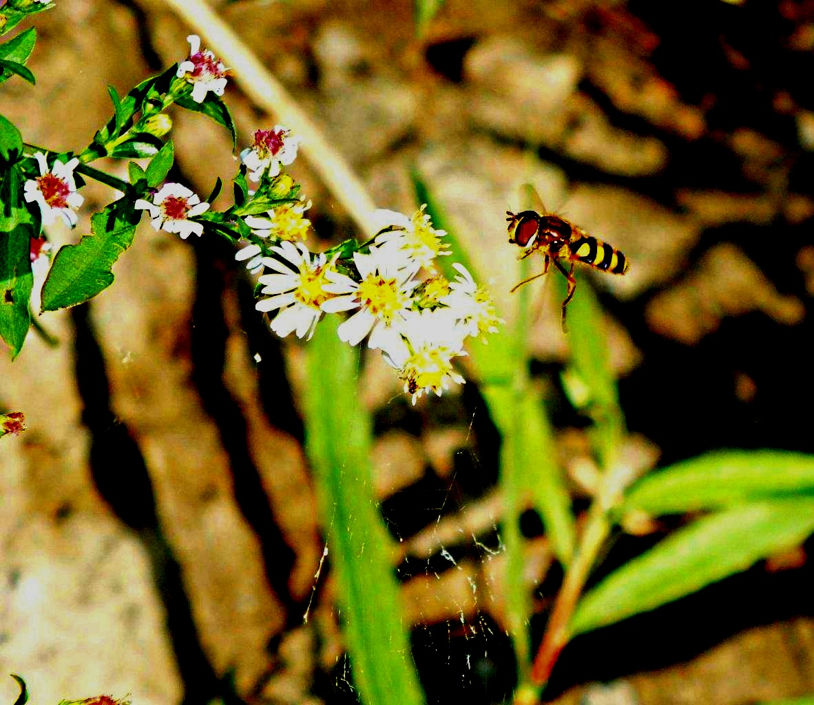 I'm not a bee & I don't sting! :  Flying Hover Fly ... Drone Fly ... by Thomas Peace 2013
