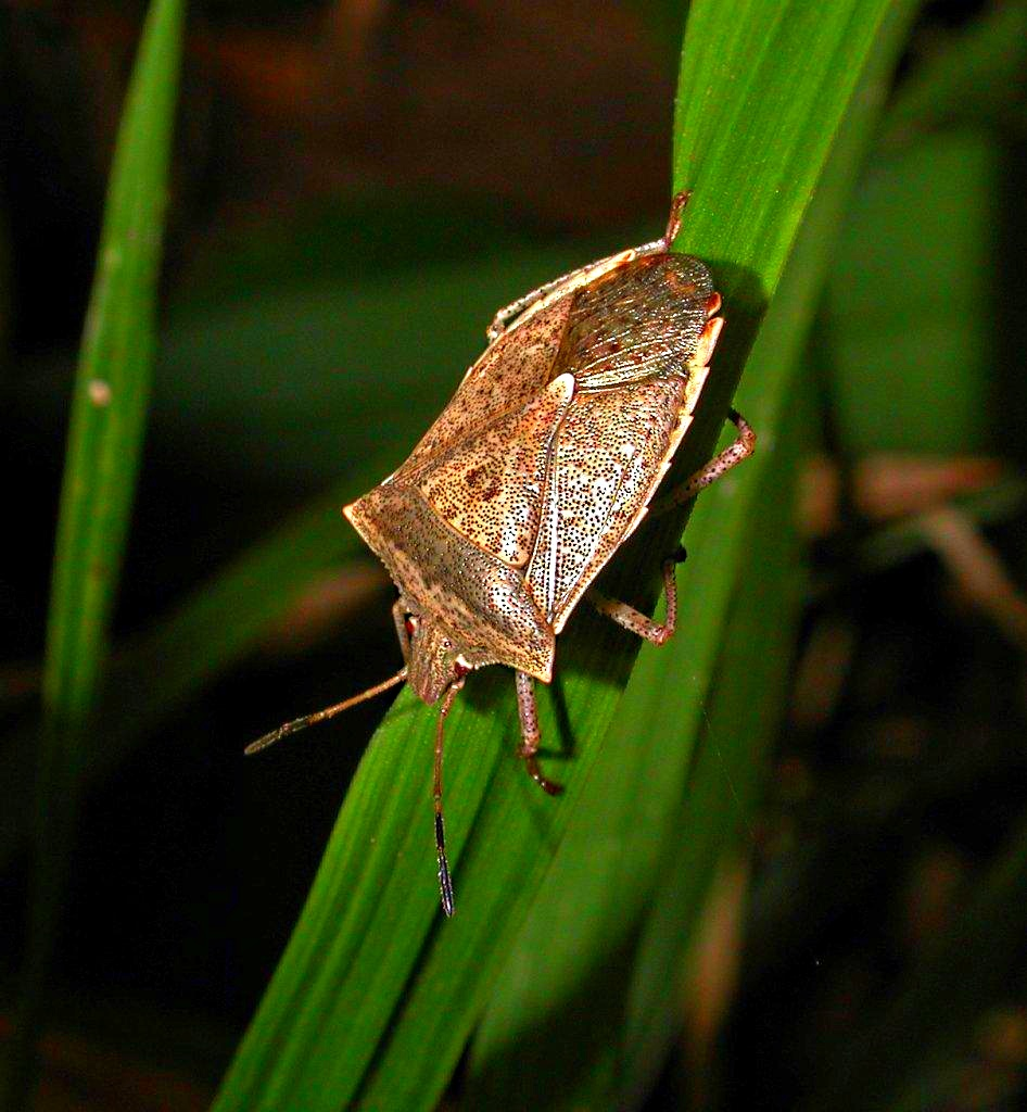 Spined Soldier Bug Hunting for prey ... by Thomas Peace 2013