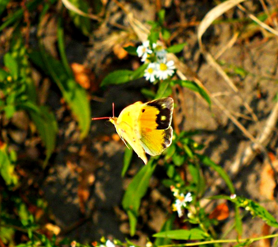 Sulphur Butterfly in flight ... by Thomas Peace 2013