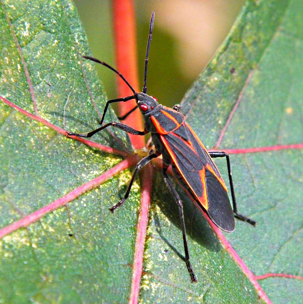 Blood-shot-Red-eyed Boxelder Bug ... by Thomas Peace 2013