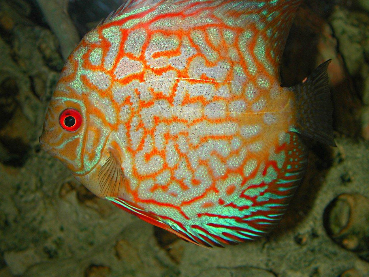 South American Discus Fish (Pigeon Blood variety) ... by Thomas Peace 2013