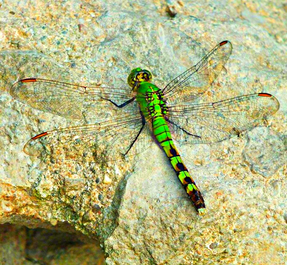 Female Eastern Pondhawk Dragonfly ... photo by Thomas Peace 2013