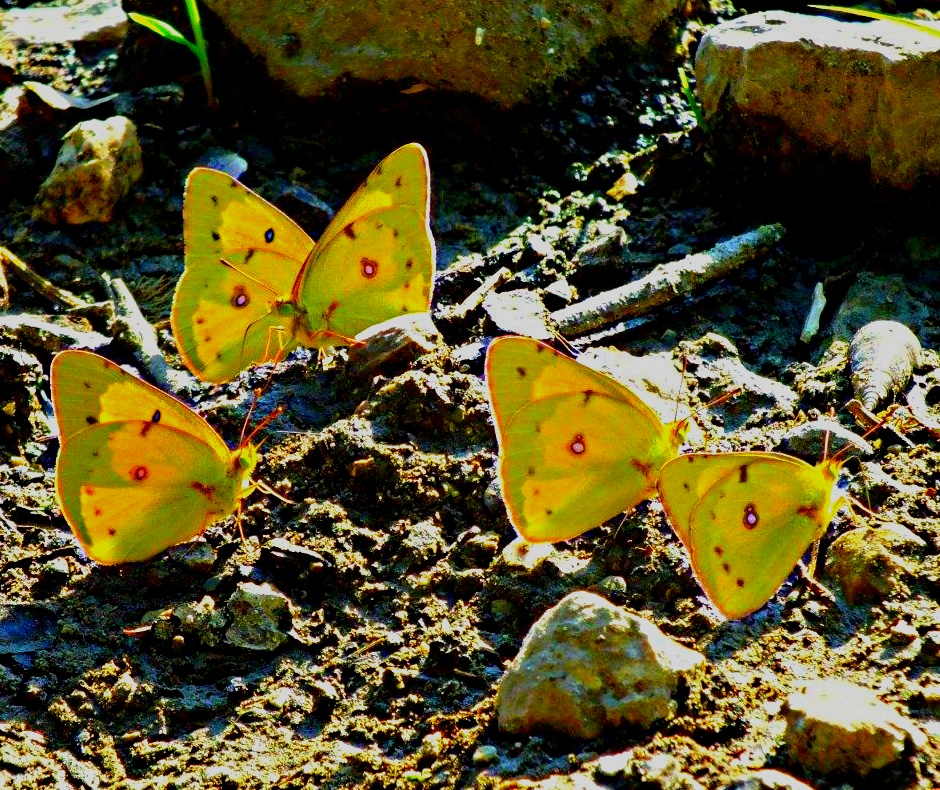 Clouded Sulphur Butterfly, Butterflies; these are all male butterflies, photo by Thomas Peace 2013