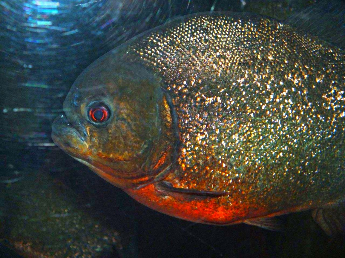 Red-Bellied Piranha ... Shedd Aquarium, Chicago ... photo by Thomas Peace 2013