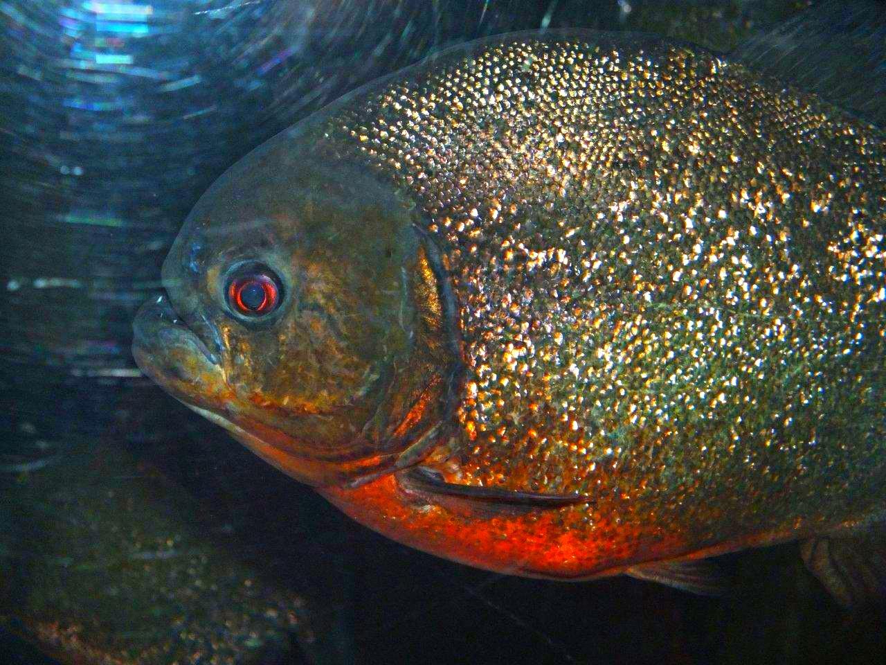 Red-Bellied Piranha ... Shedd Aquarium, Chicago ... photo by Thomas Peace 2013