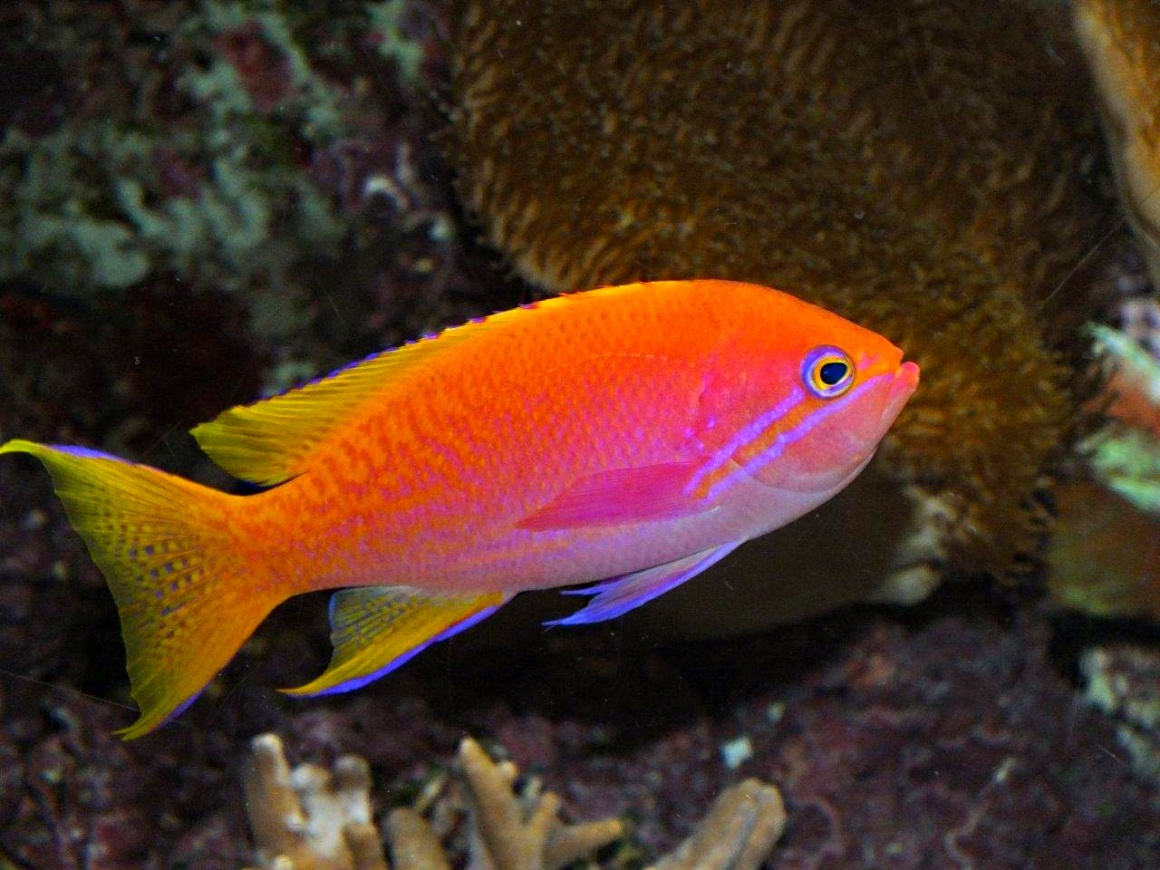 Orange Anthias Fish - saltwater fish at the Shedd Aquarium in Chicago - photo by Thomas Peace 2013