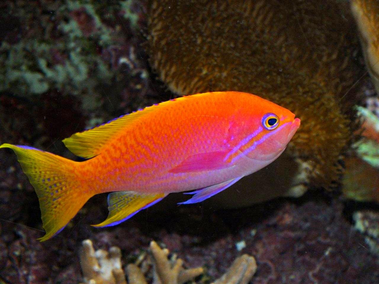 Orange Anthias Fish - saltwater fish at the Shedd Aquarium in Chicago - photo by Thomas Peace 2013