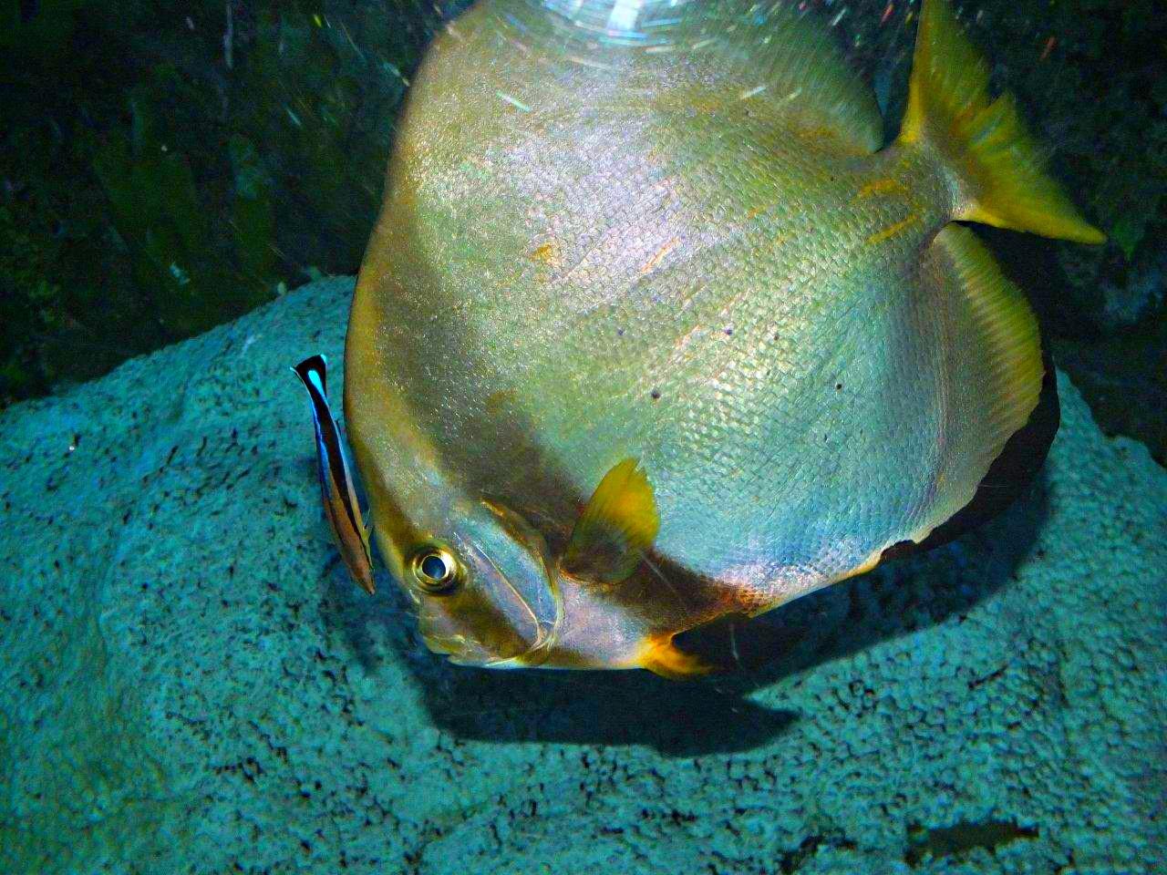 Bluestreak Cleaner Wrasse... saltwater fish... photo by Thomas Peace 2013