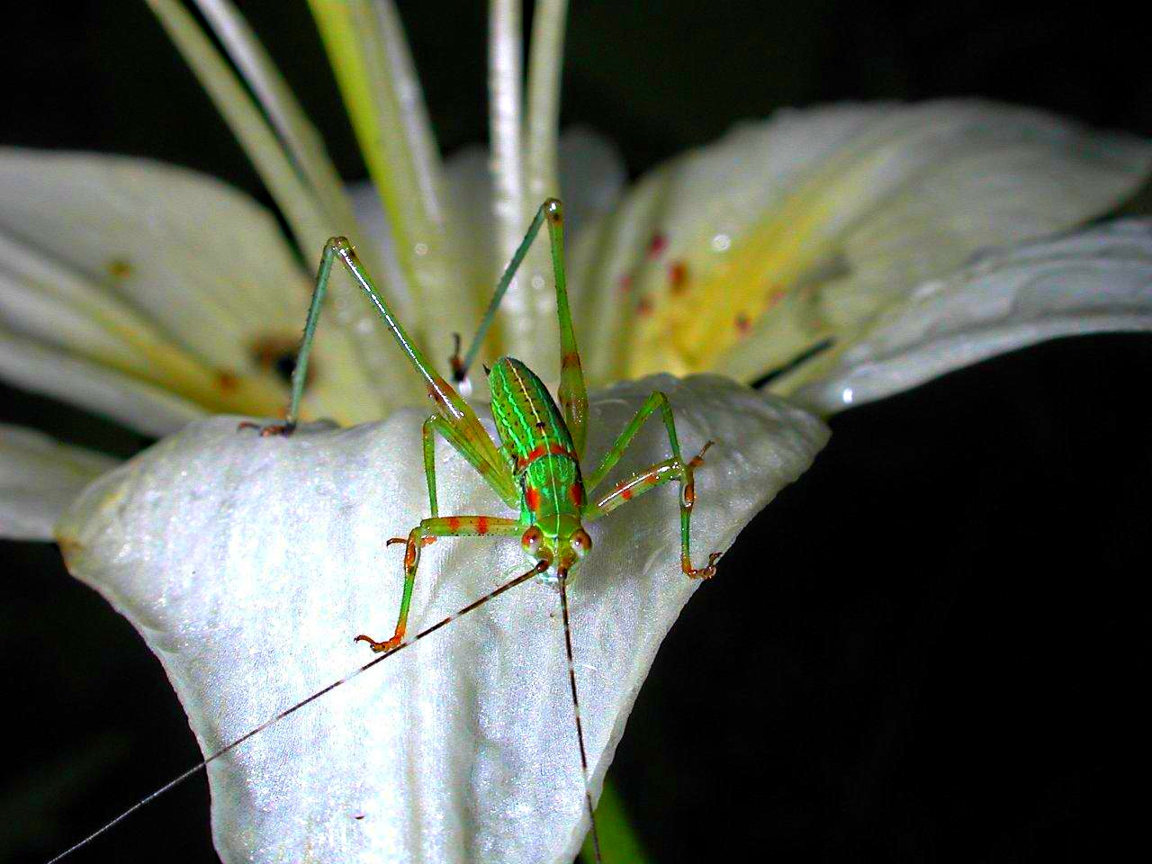 Katy in the Daylilly... Katydid in Flower... photo by Thomas Peace 2013