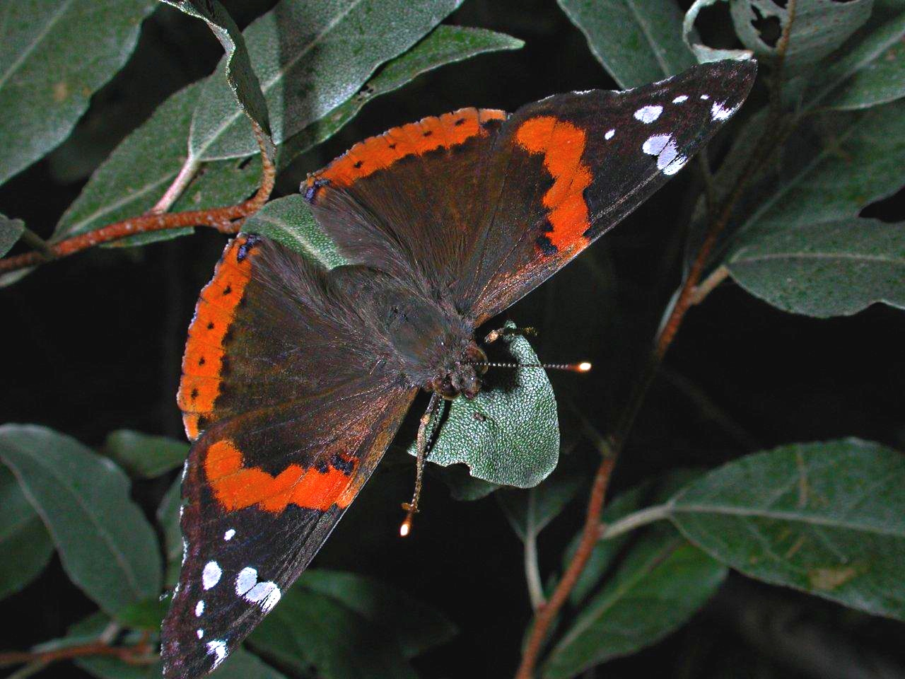 Red Admiral Butterfly resting... photo by Thomas Peace 2014