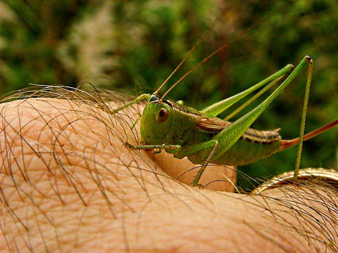 Visiting Katydid (insects)... photo by Thomas Peace 2014