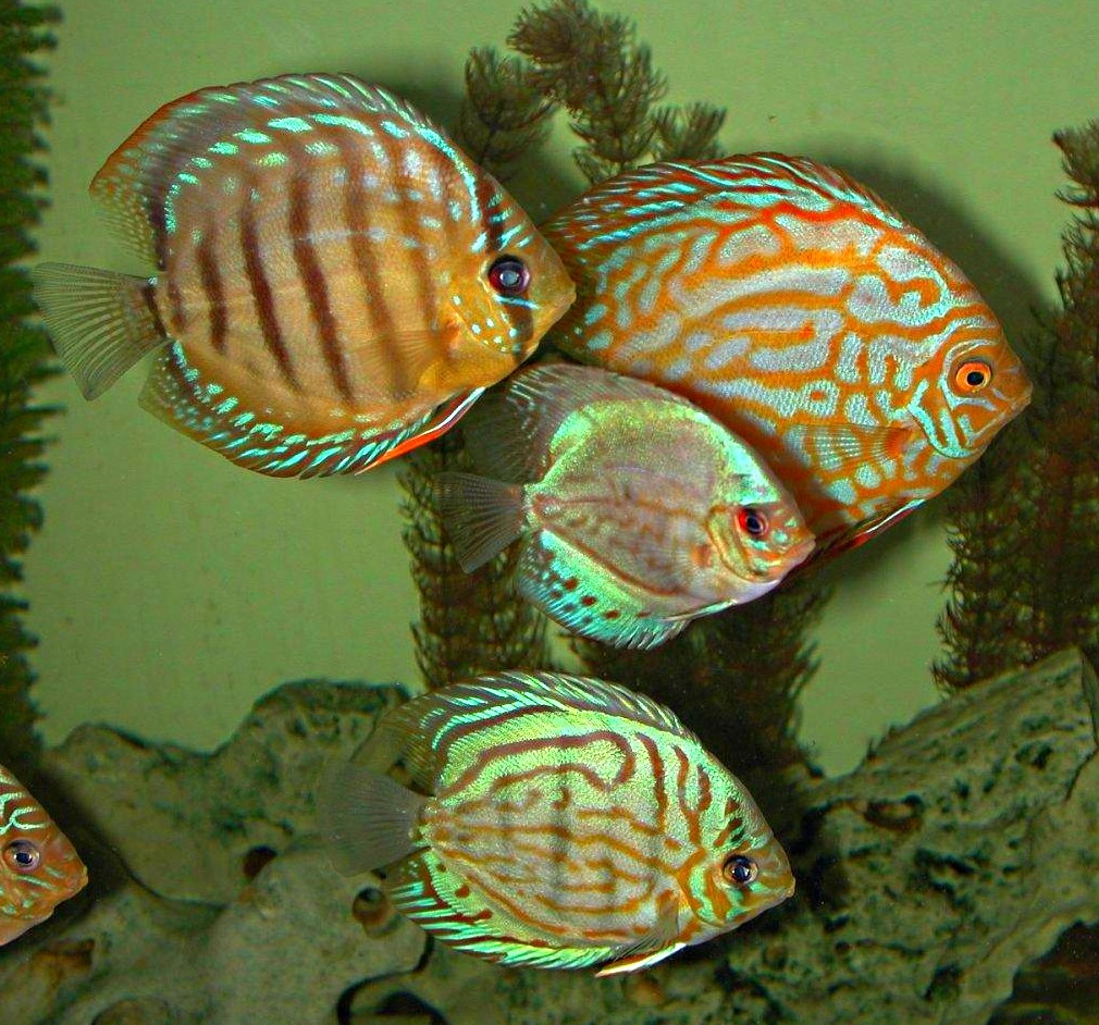 Freshwater Discus Fish ... Turquoise Discus ...  photo by Thomas Peace 2014