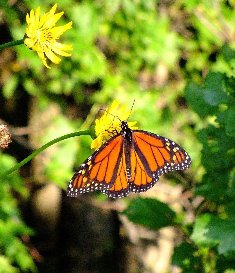 A non-traveling Monarch... photo by Thomas Peace 2014