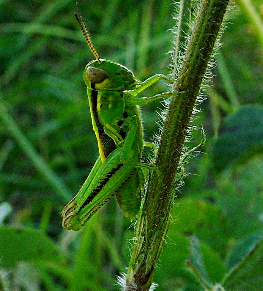 Climbing to the summit! Green Grasshopper photo by Thomas Peace 2014