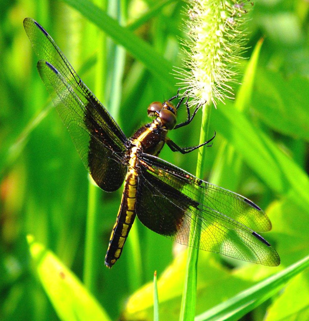 At an end and a new beginning... female Widow Skimmer Dragonfly ... photo by Thomas Peace 2014