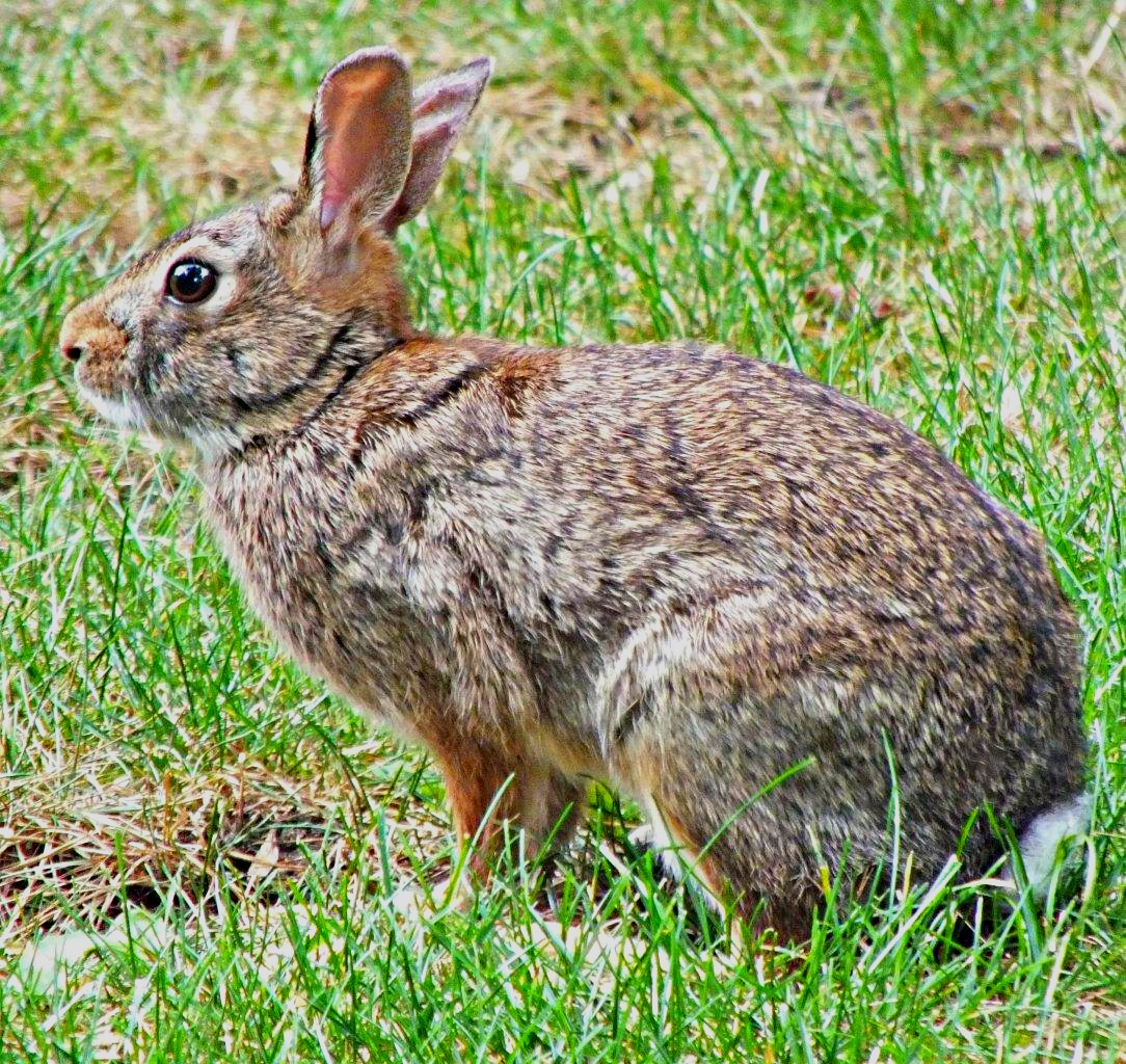 Easter will be here soon!...(Wild Rabbit) photo by Thomas Peace 2014