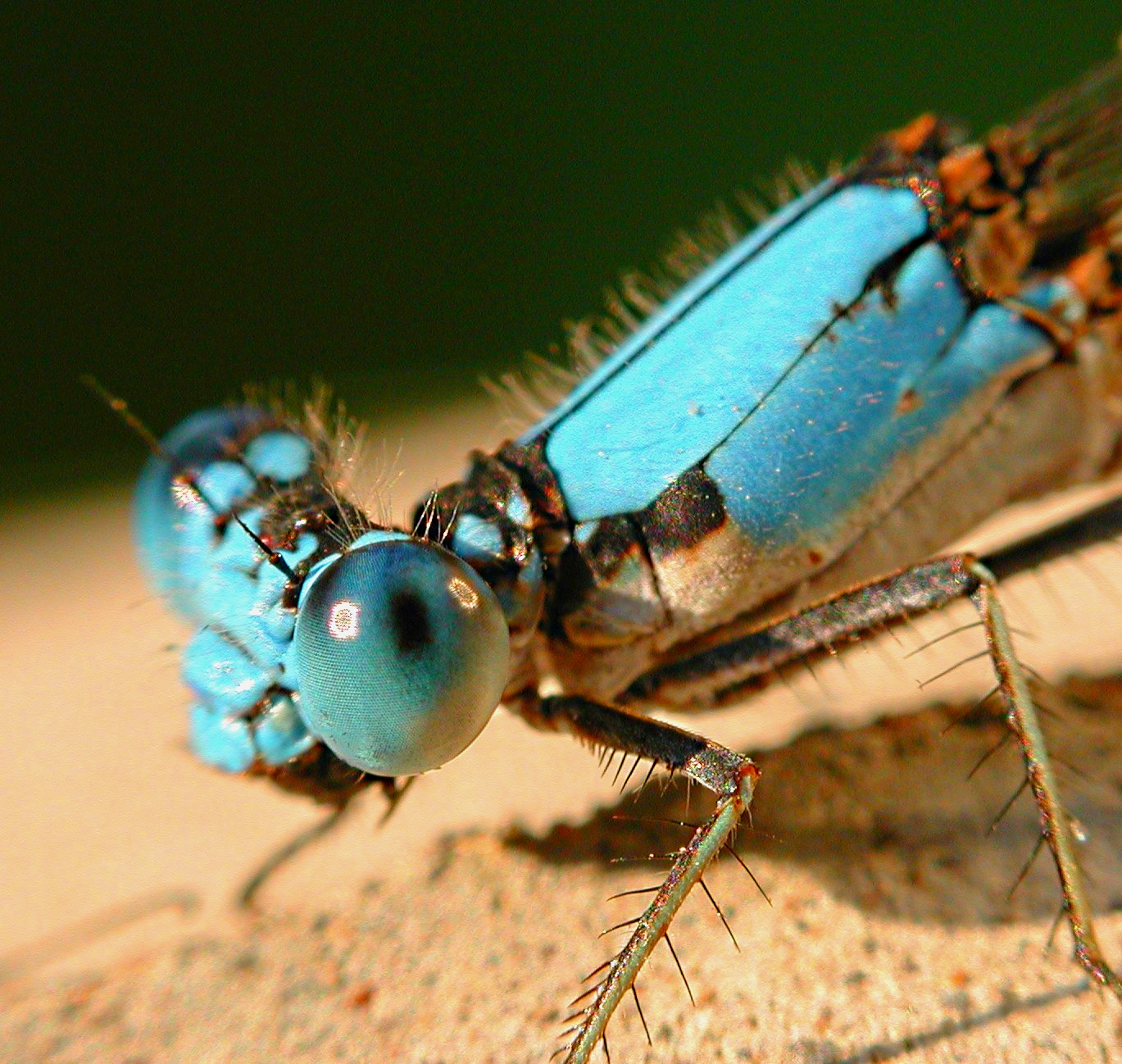 A dancer to another tune... Blue-fronted Dancer Damselfly... photo by Thomas Peace 2014