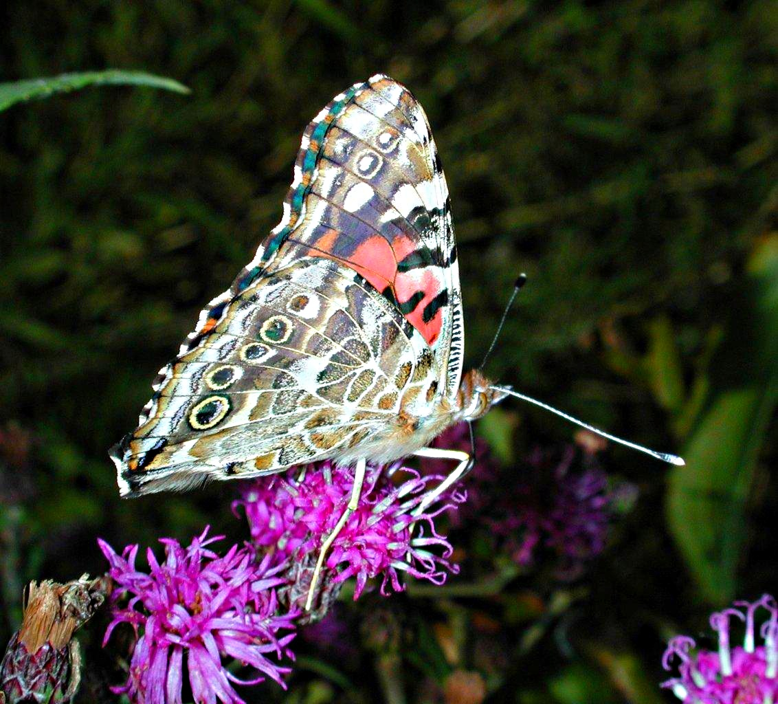 Even a butterfly can look beyond what it's programmed to see! ... photo by Thomas Peace 2014