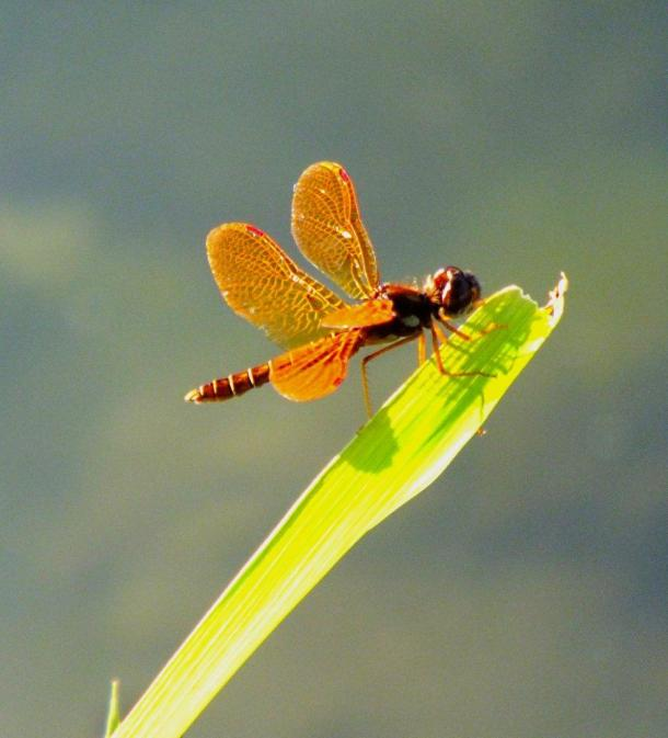 Eastern Amberwing Dragonfly (male)... photo by Thomas Peace 2014