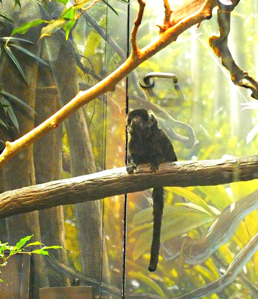 The door to success in the entertainment world... may be illusory. Mantled Howler Monkey at the zoo, briefly resting after antics with his group... photo by Thomas Peace 2014