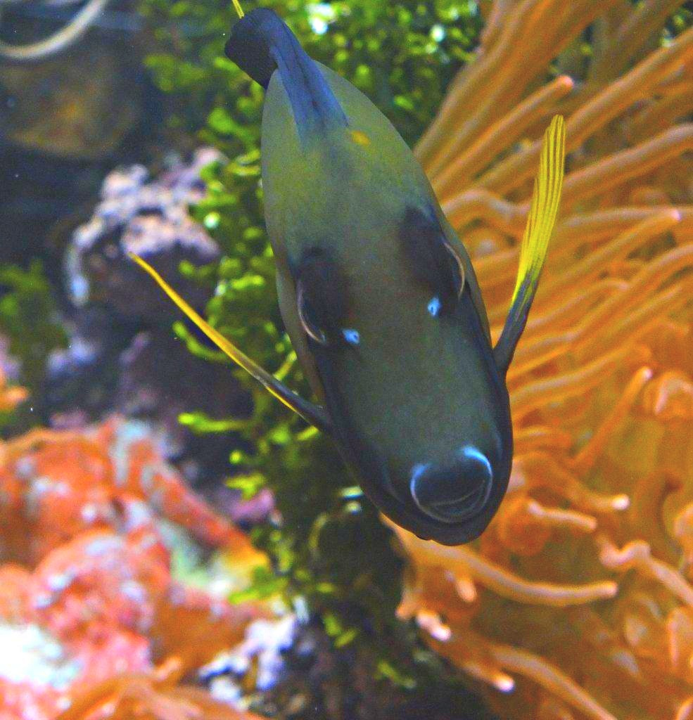 Who's zoomin' who? ... (Saltwater Tang Fish, Blue Tang) photo by Thomas Peace 2014