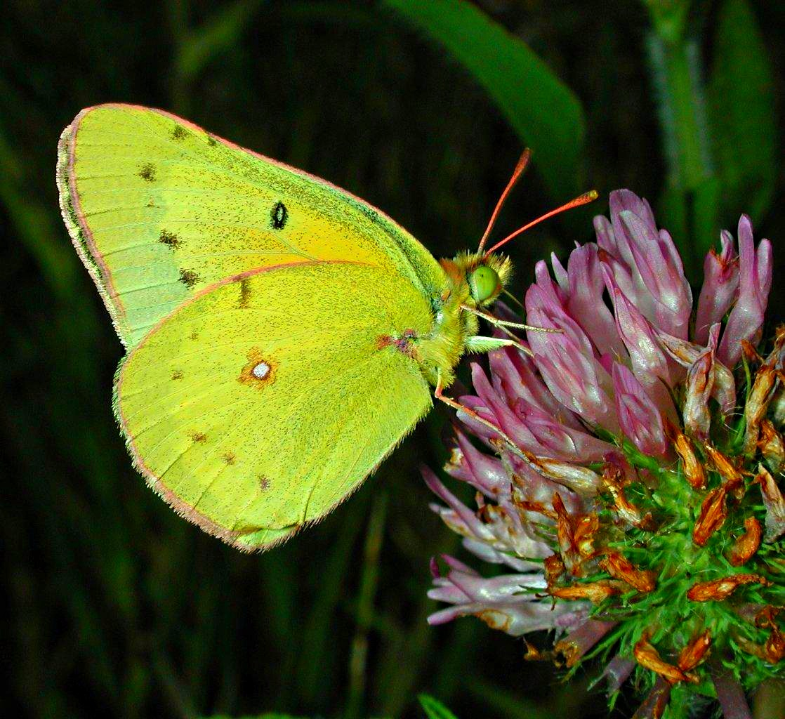 Clouded Sulphur Butterfly (male) on pink clover... photo by Thomas Peace 2014