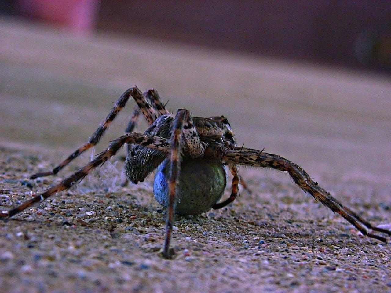 Dolomedes tenebrosus (Fishing Spider) with her egg sac ... photo by Thomas Peace 2014