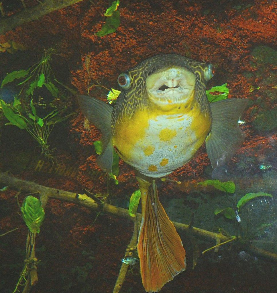 Swimming, Smiling, Egghead ... (Puffer Fish) ... photo by Thomas Peace 2014
