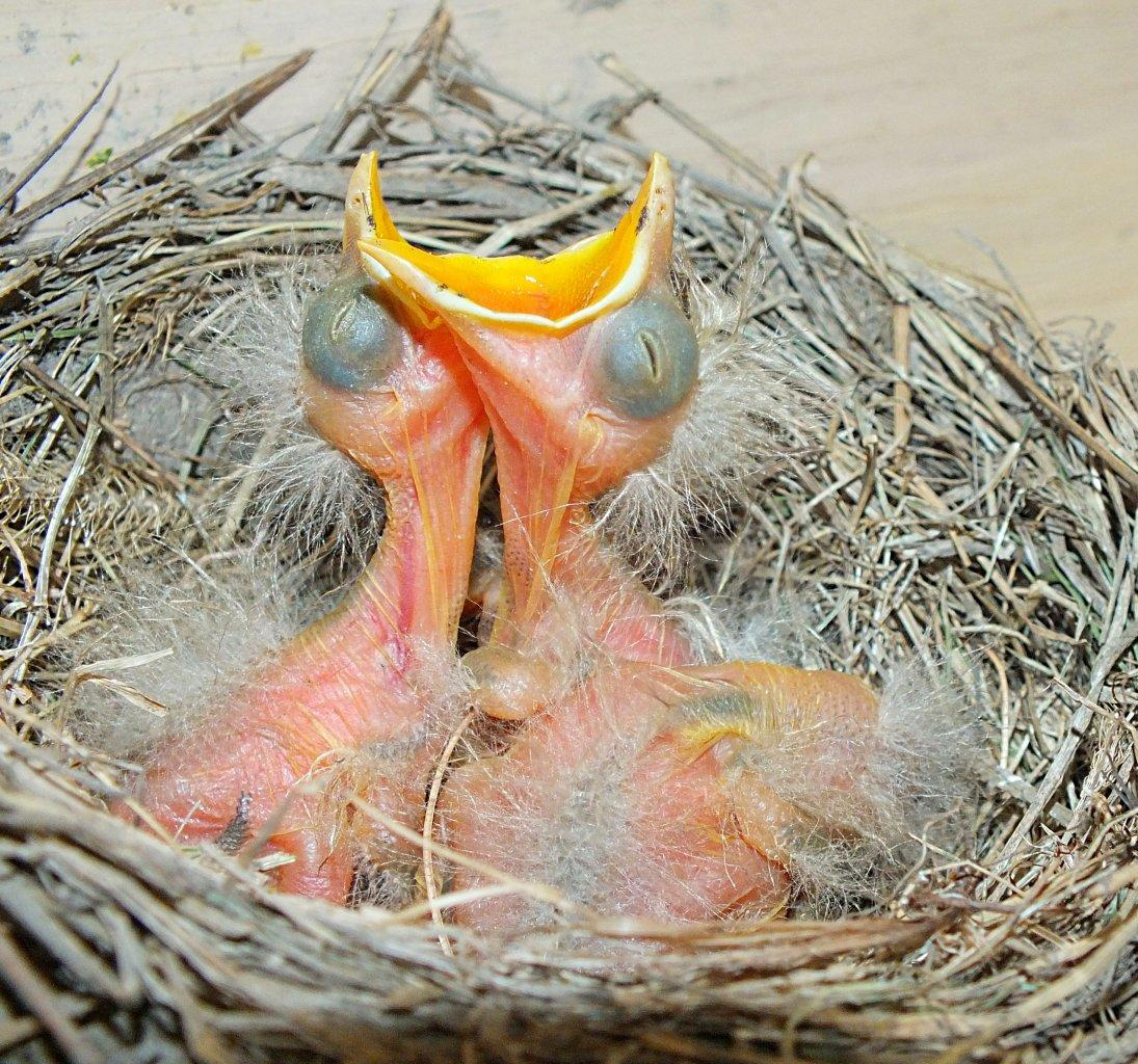 ... before they hatch! ----- (Robin Fledglings) ... photo by Thomas Peace 2014