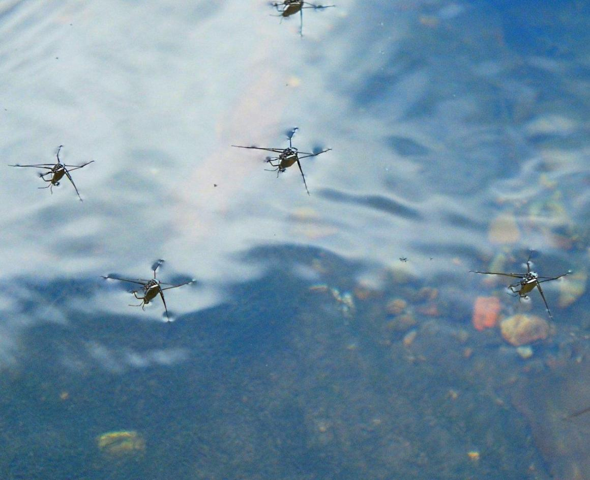 "Water Striders ... insects that walk and ""skate"" on water! ... photo by Thomas Peace 2014"