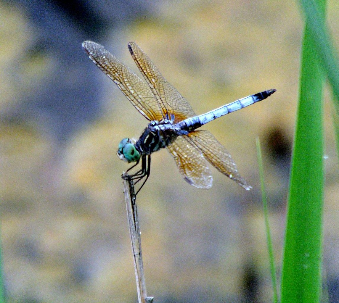 We were around before the time of the dinosaurs!  Blue Dasher Dragonfly ... photo by Thomas Peace 2014