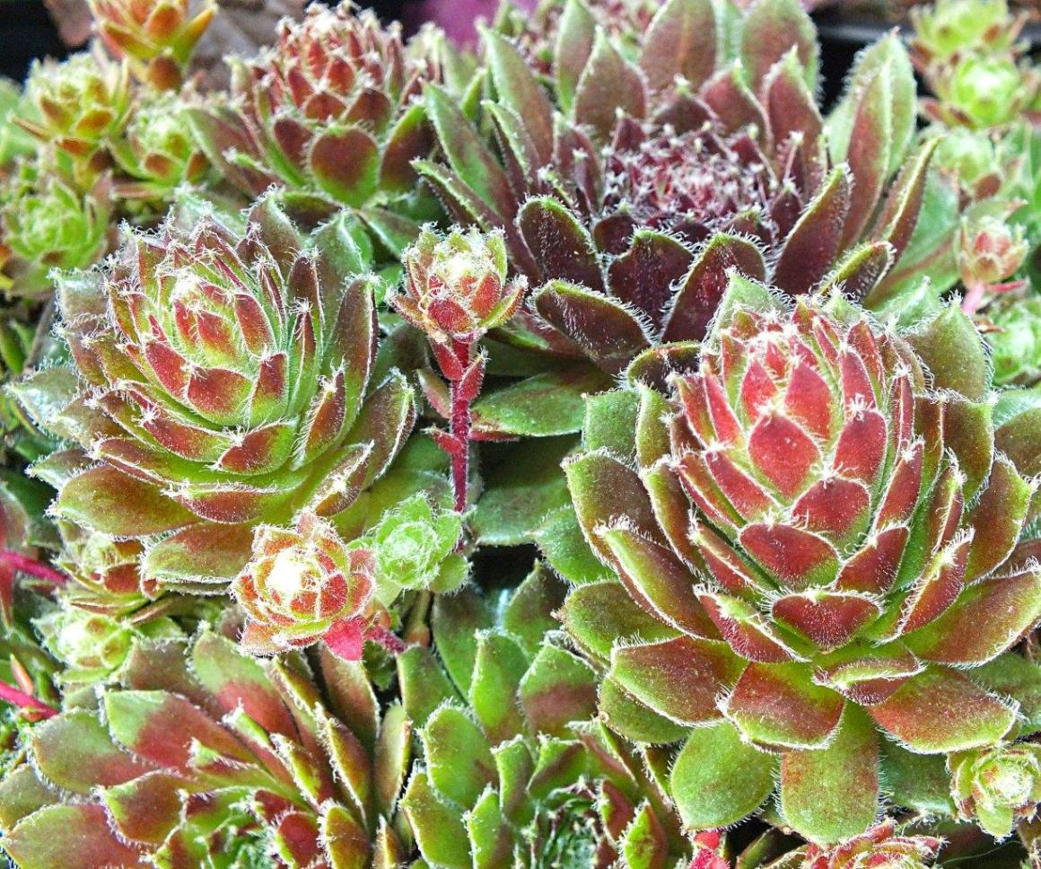 All r 1...Sempervivums sedums... Photo by Thomas Peace 2014