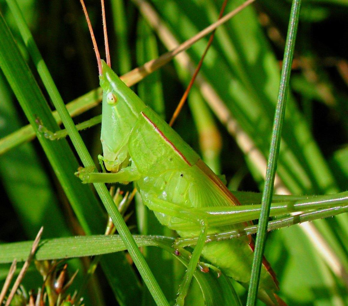 Mr. Conehead out for a stroll!  (Coneheaded katydid, Eastern Sword-bearer Katydid) Photo by Thomas Peace 2014