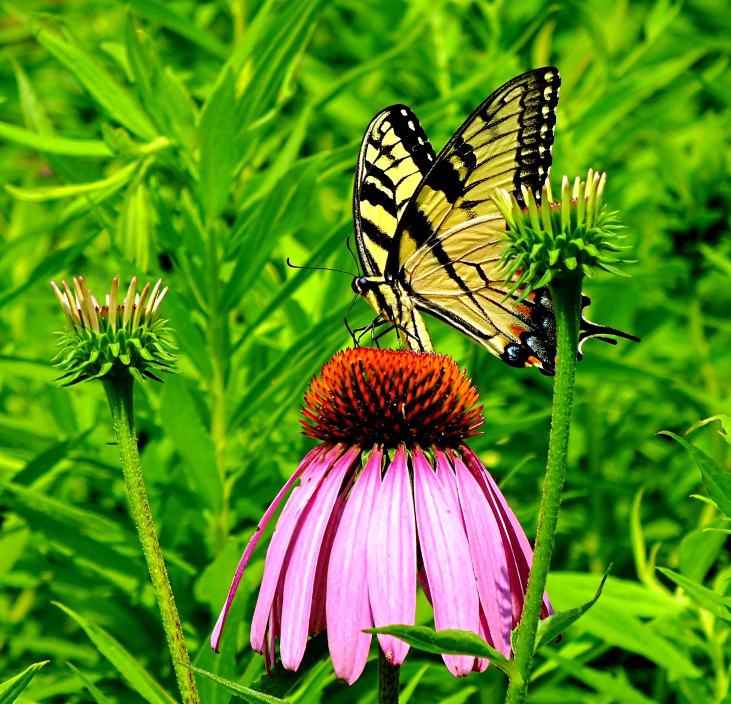 Yellow Swallowtail (photo 2) Photo by Thomas Peace 2014