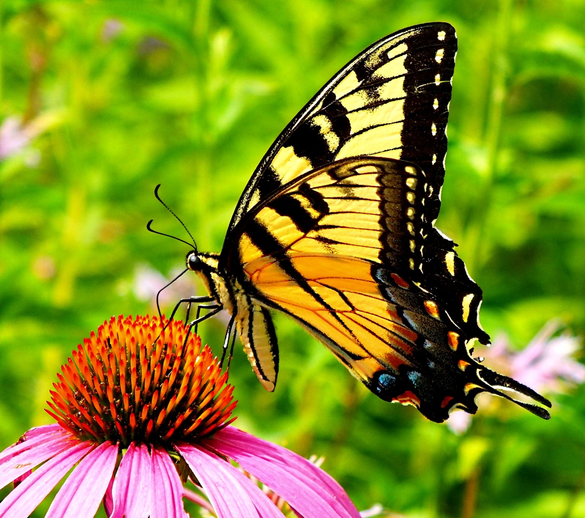 Yellow Swallowtail (photo 1) (The day I took these shots, I had a feeling that I should go to Perry Farm's prairie, because I would find spectacular Yellow Swallowtail there; as soon as I arrived, there she was!) Photo by Thomas Peace 2014