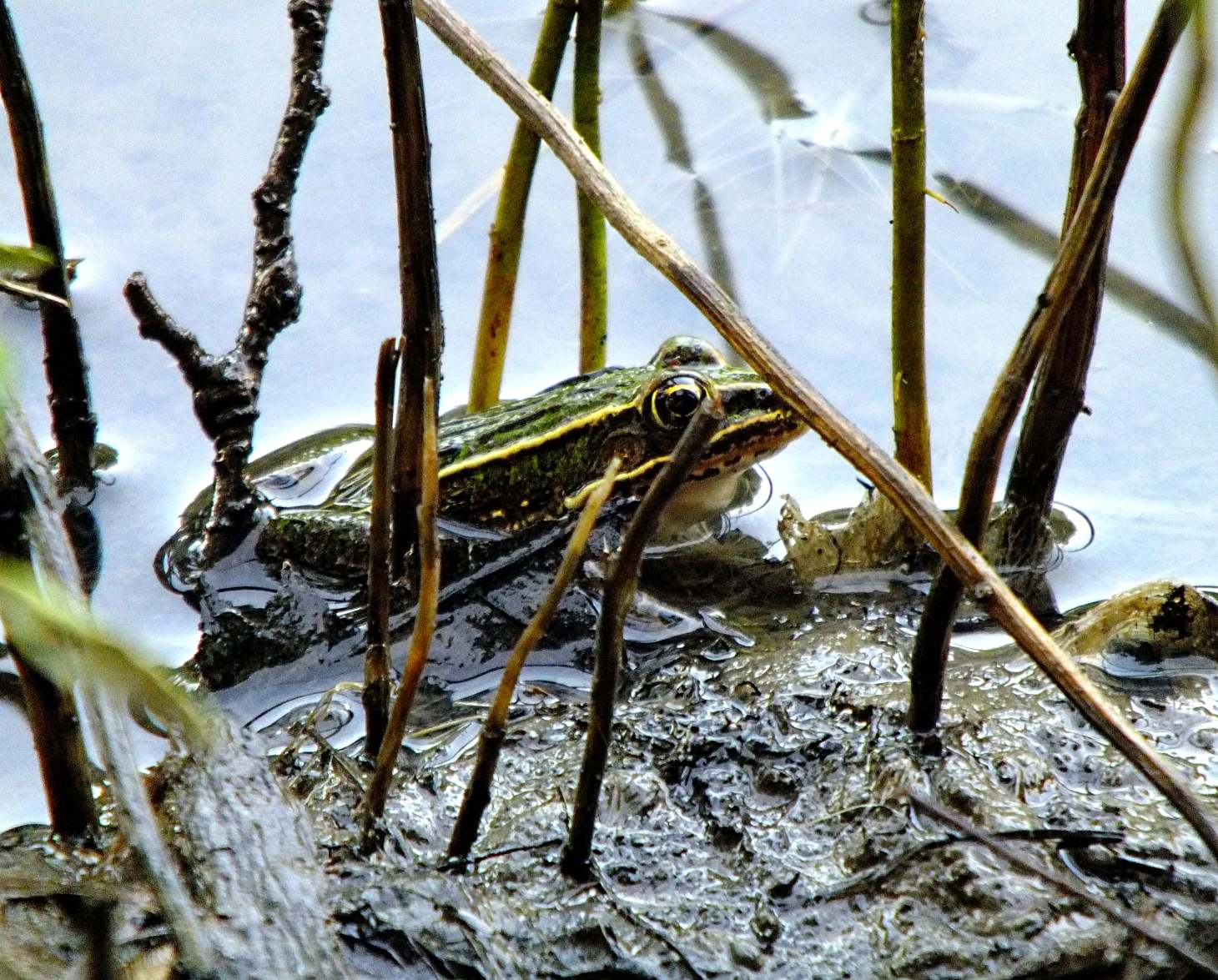 Leopard Frog... in a froggish kind of place!  Photo by Thomas Peace 2014