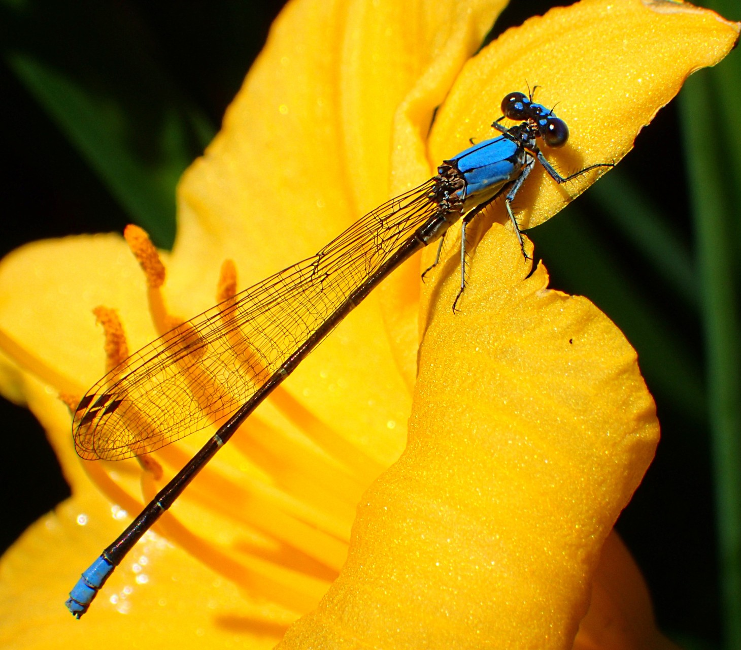 It's good to be rather blue...  (if you have six legs)!  Photo by Thomas Peace 2014