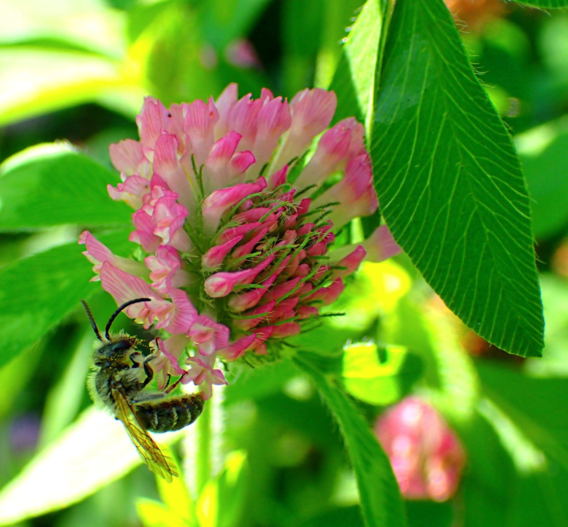 A clover and one bee (and revery).  Photo by Thomas Peace 2014