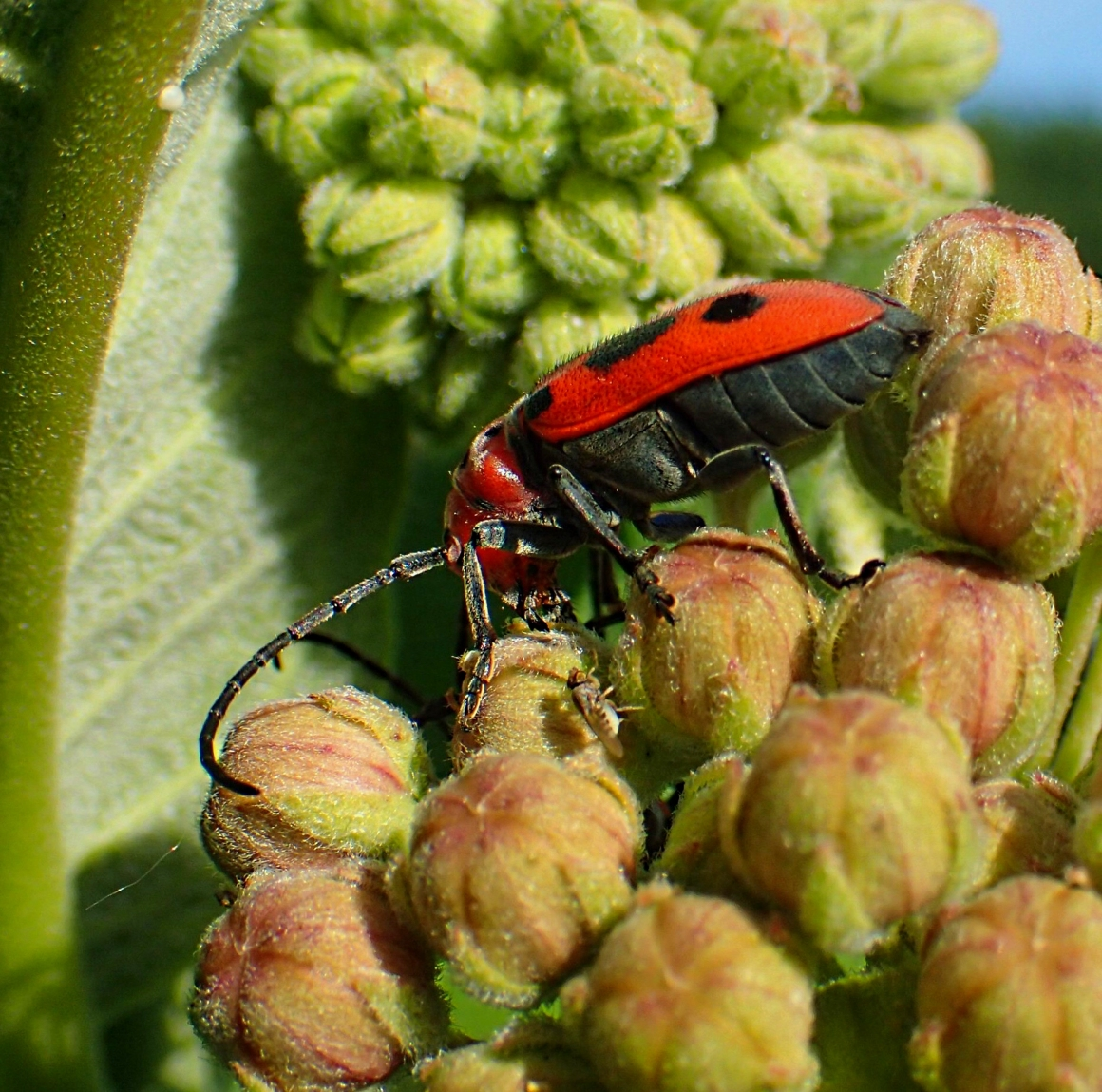 Fruit-fly observing the Milkweed Beetle beginning to eat!  Photo by Thomas Peace 2014
