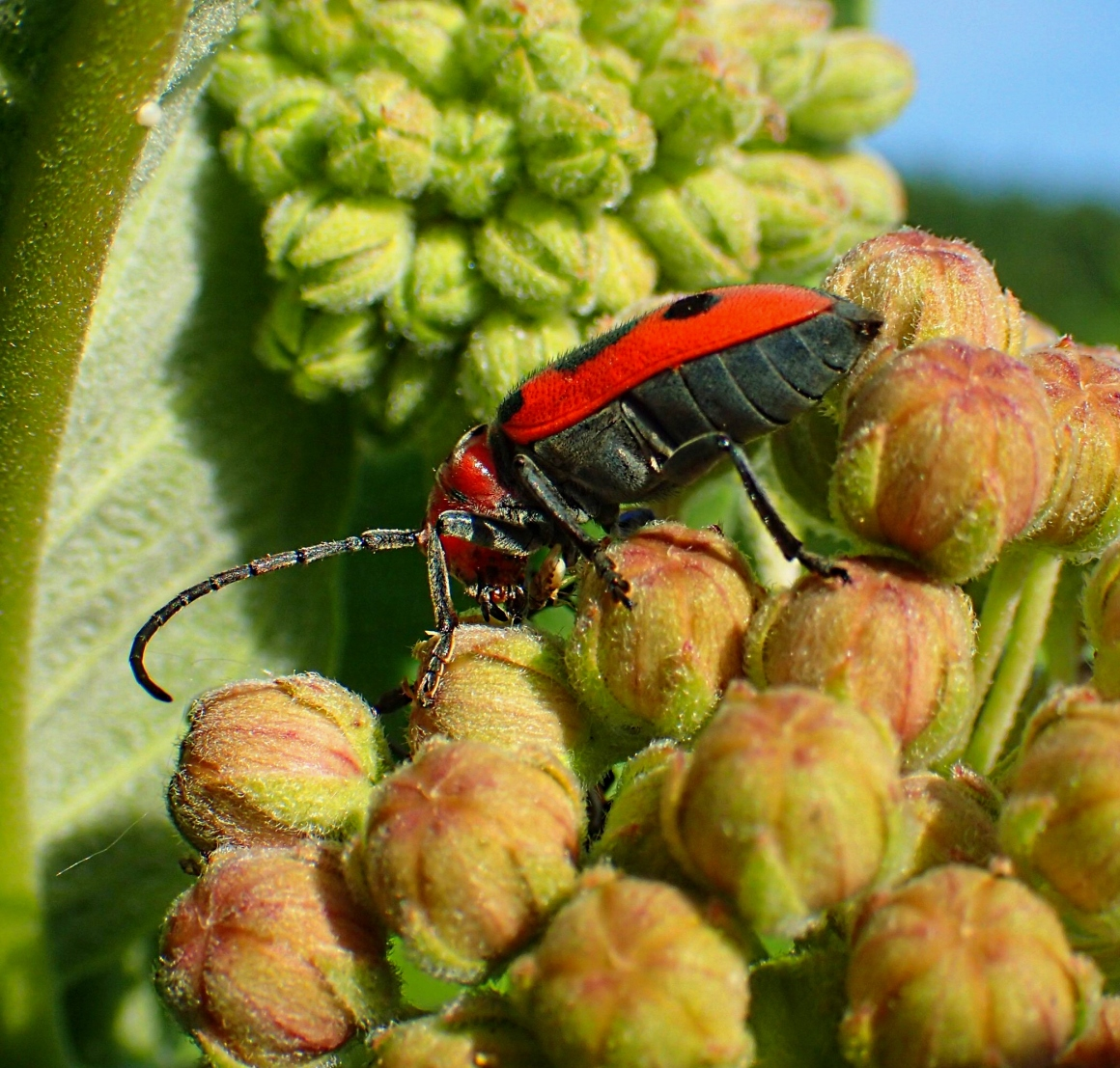 Fruit-fly eating right next to the jaws of a Milkweed Beetle!  Photo by Thomas Peace 2014