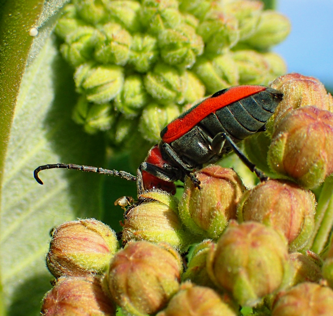 Fruit-fly trying to eat the Milkweed Beetle's scraps from a distance!  Photo by Thomas Peace 2014