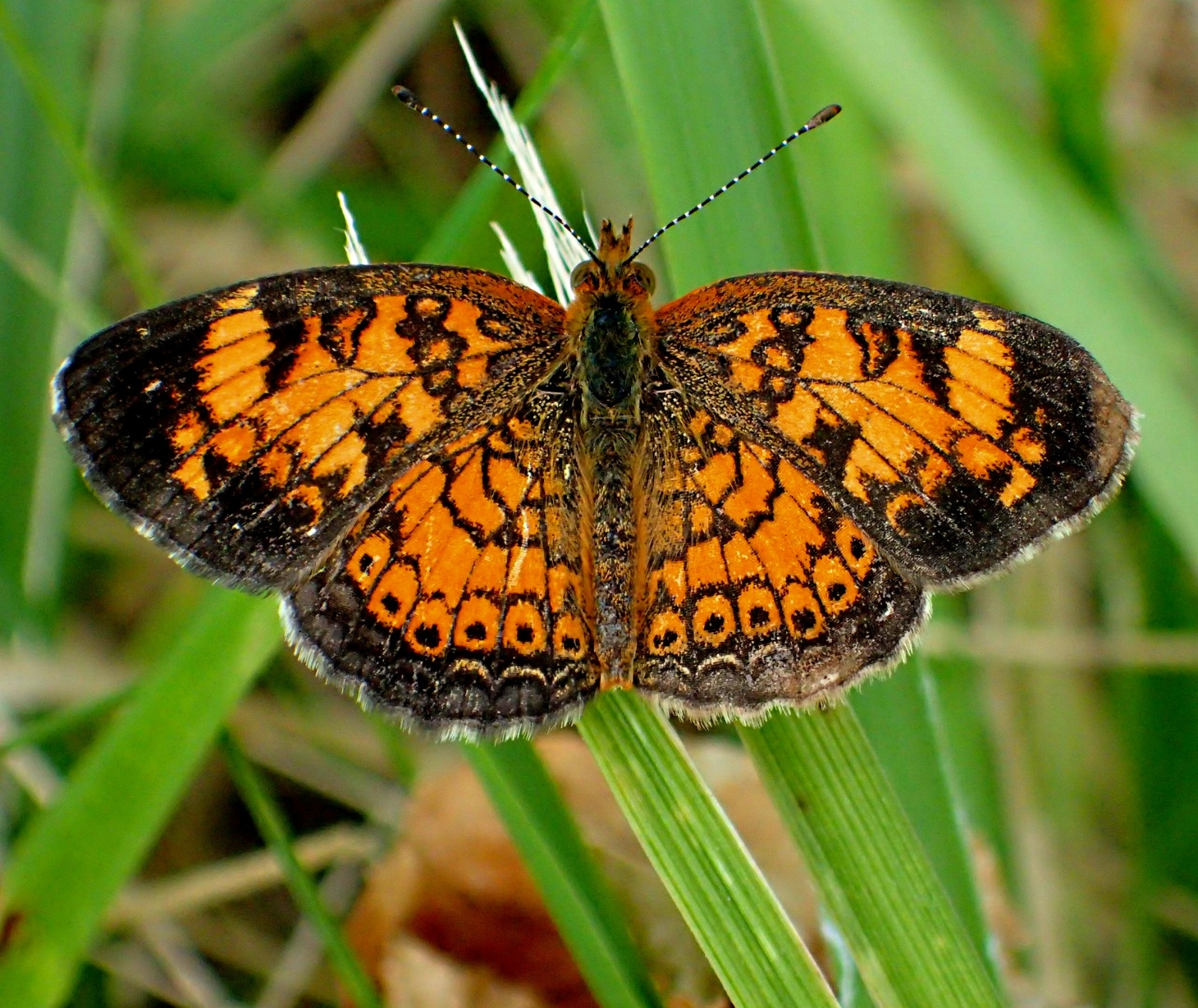 Between the two wings is the treasure pearl! ... Pearl Crescent Butterfly ...  Photo by Thomas Peace 2014