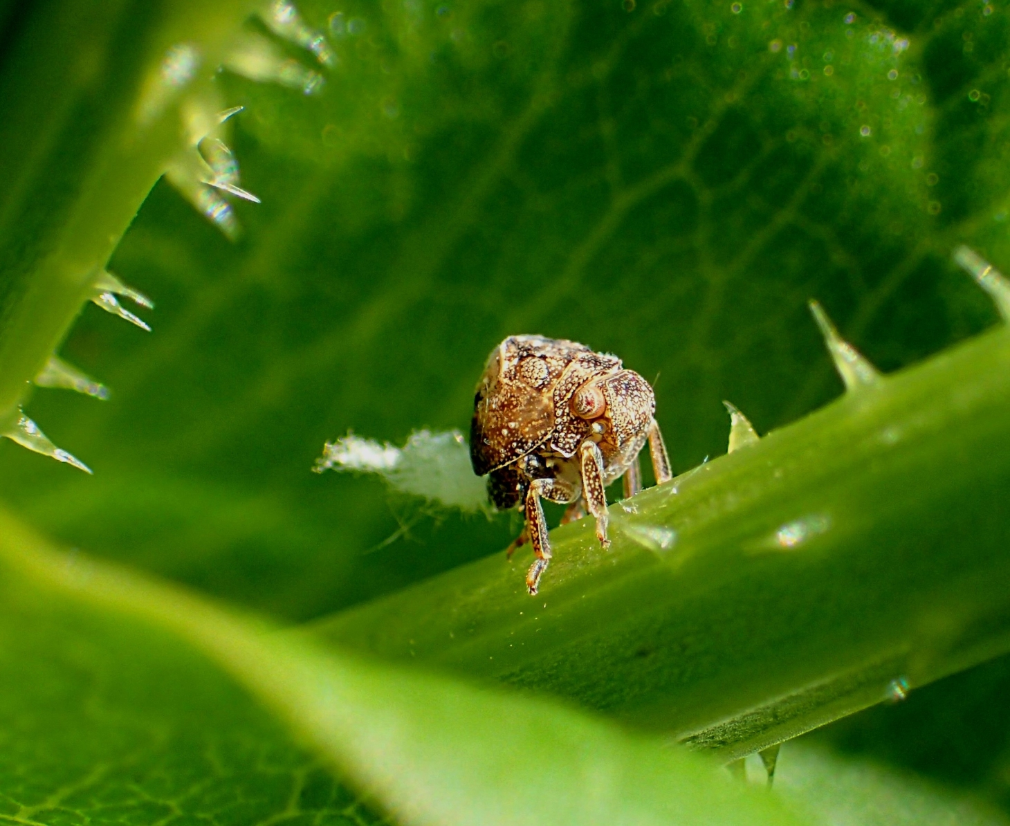 Leafhopper Nymph (only around 3/16 of an inch long) with fluffy bum (which is an excess of sugar), while acting elusive on a Thistle Plant stem.  Photo by Thomas Peace 2014