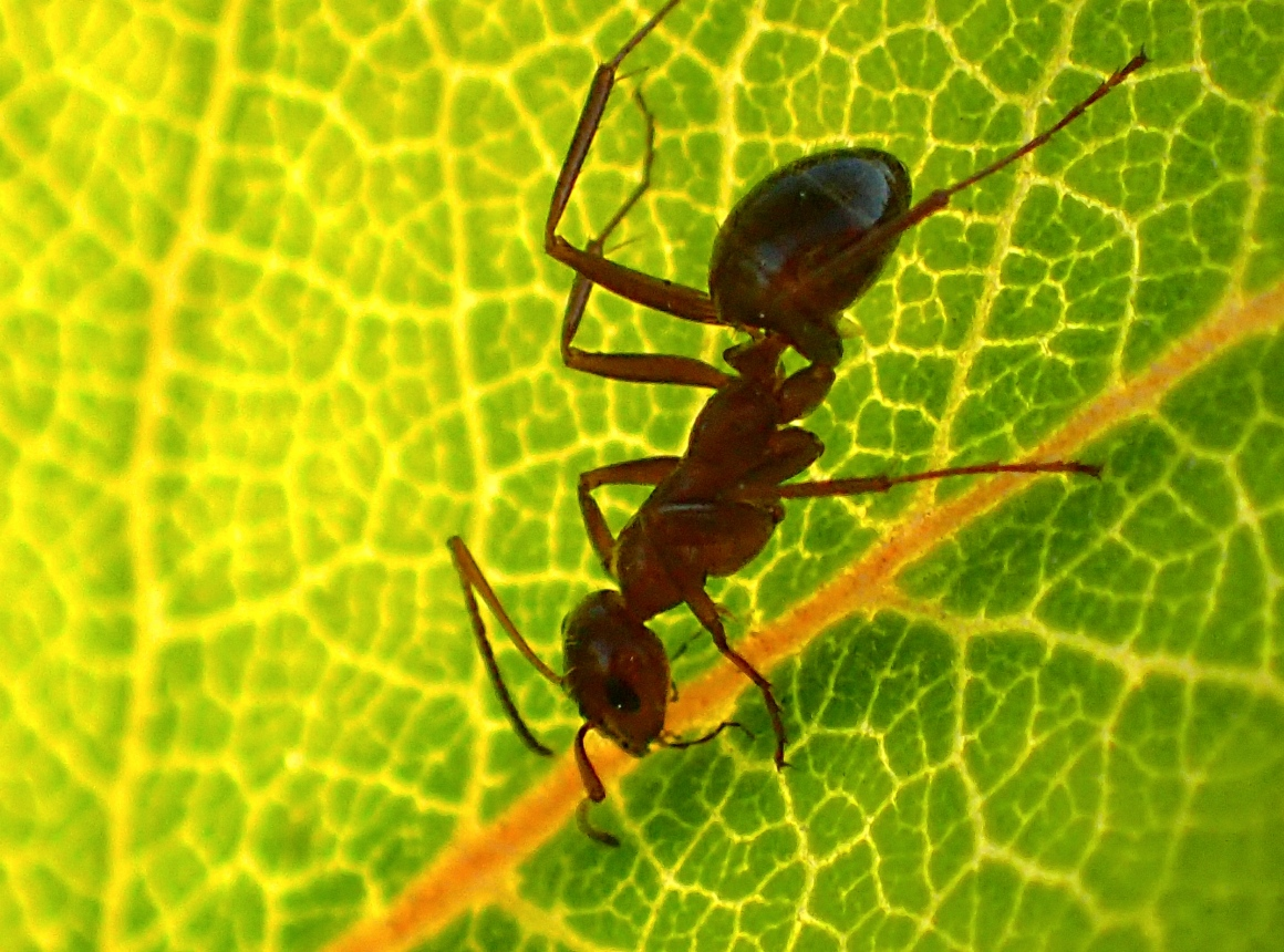Ant feeding on Milkweed plant leaf.  Photo by Thomas Peace 2014