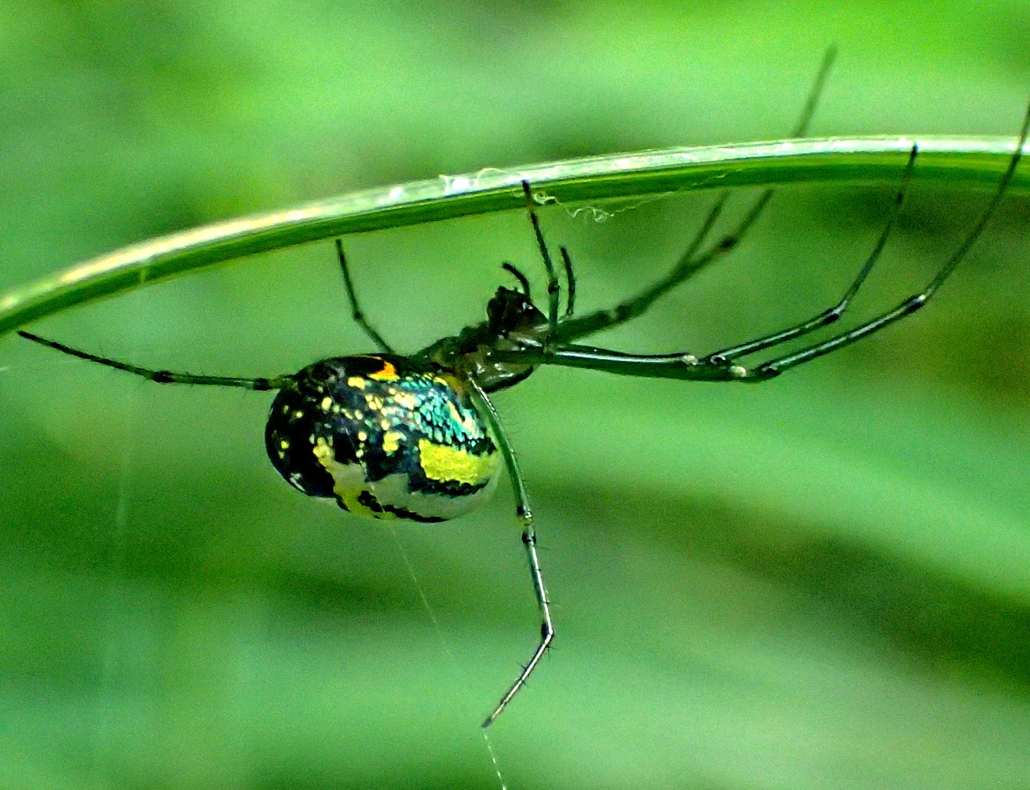 Orchard Spider... master weaver of webs.  (Photo 2) taken by Thomas Peace 2014