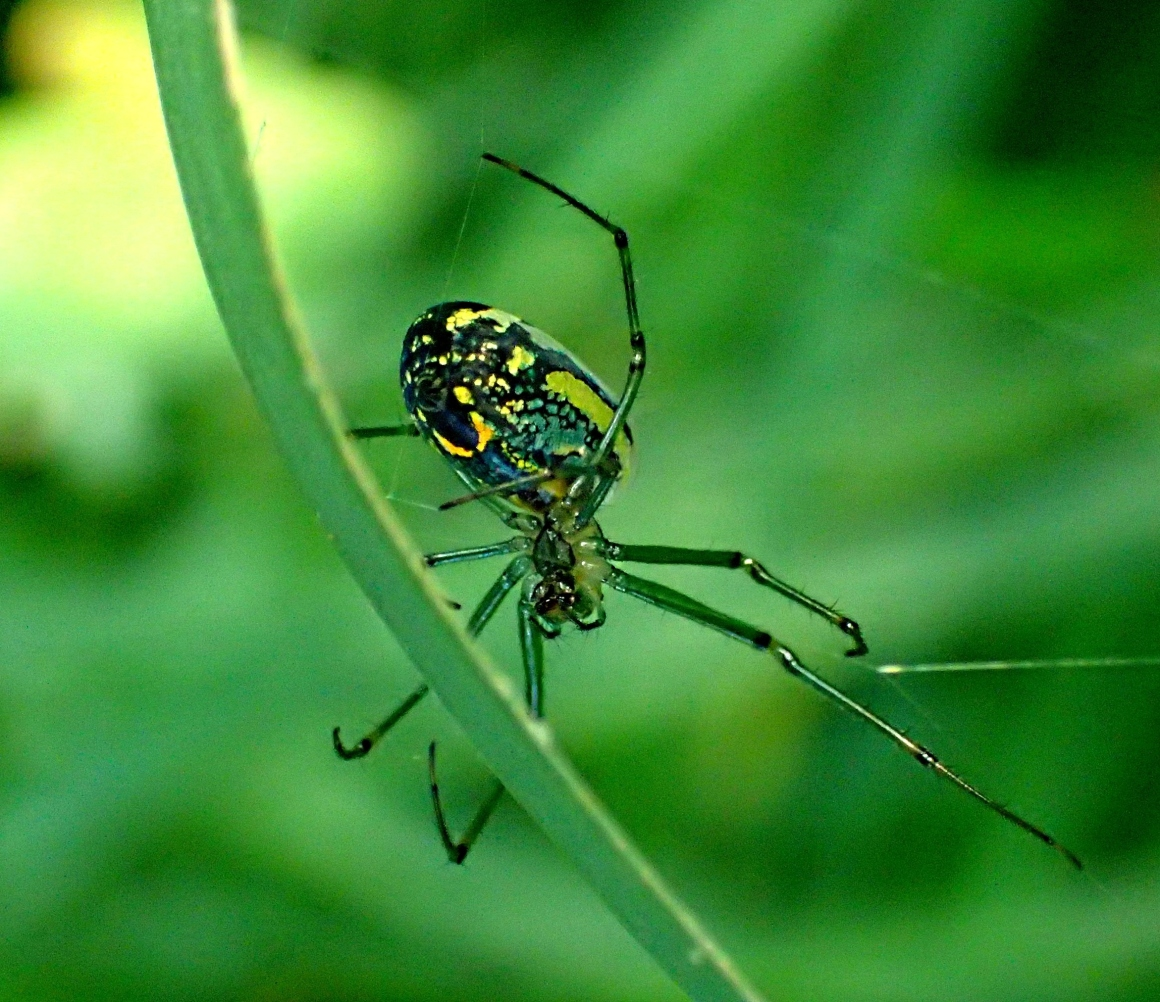 Orchard Spider... master weaver of webs (Photo 1) taken by Thomas Peace 2014