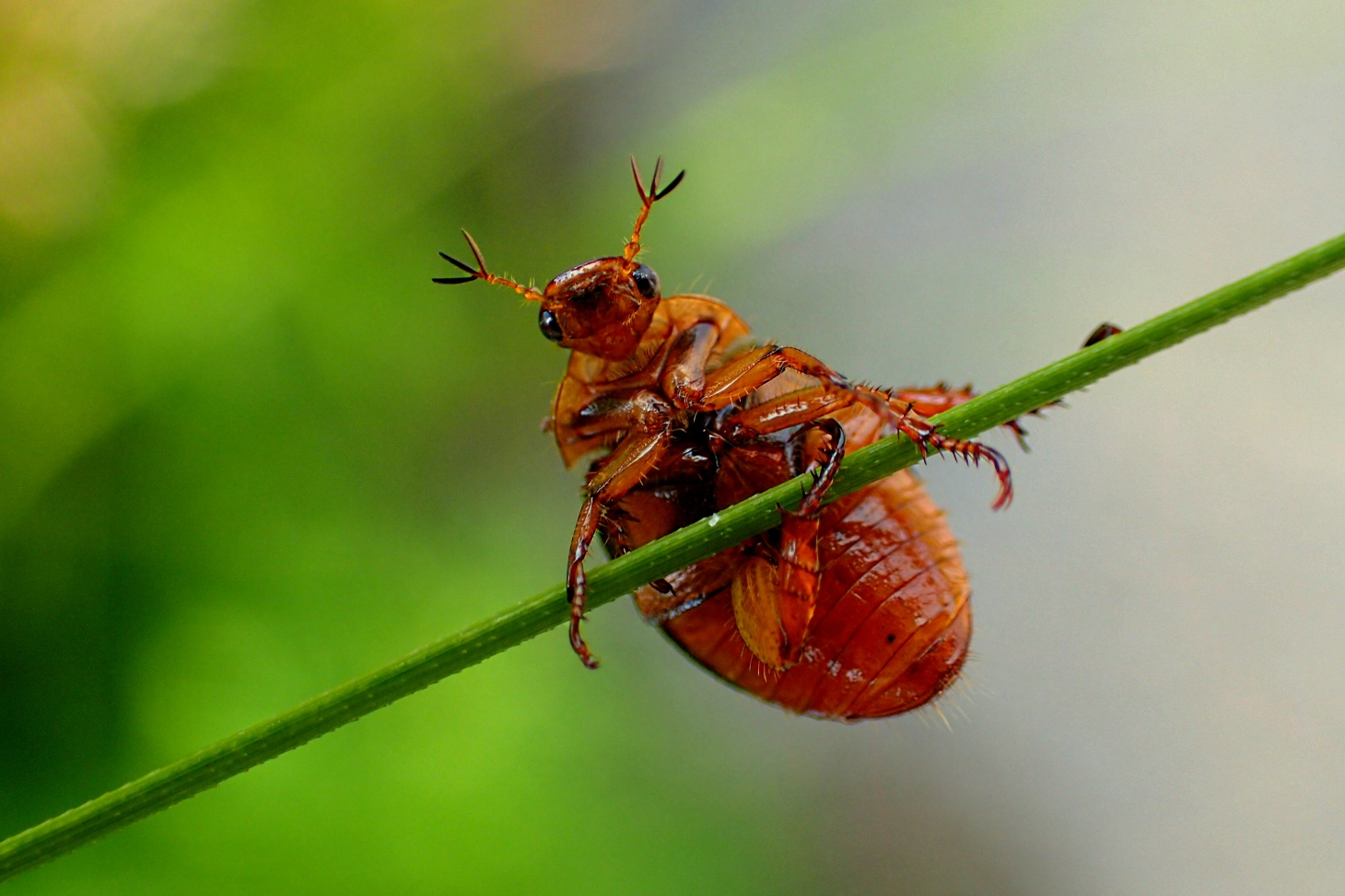 May Beetle trying to keep some balance in the struggle of life!  Photo by Thomas Peace 2014