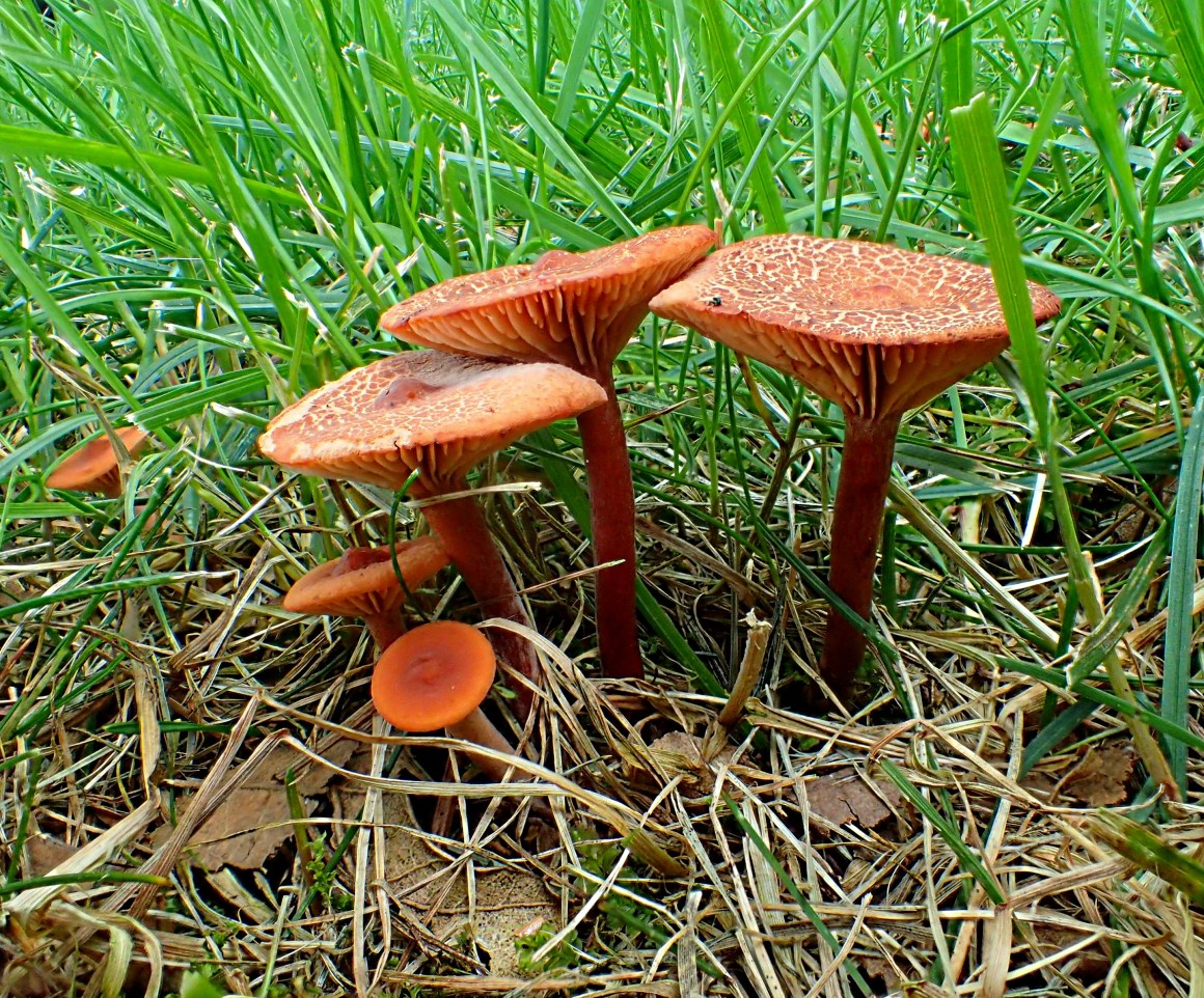 Strawberry Fields Forever. (Mushrooms in our lawn… and one of the reasons why one often dislikes to cut the grass!) Photo by Thomas Peace 2014