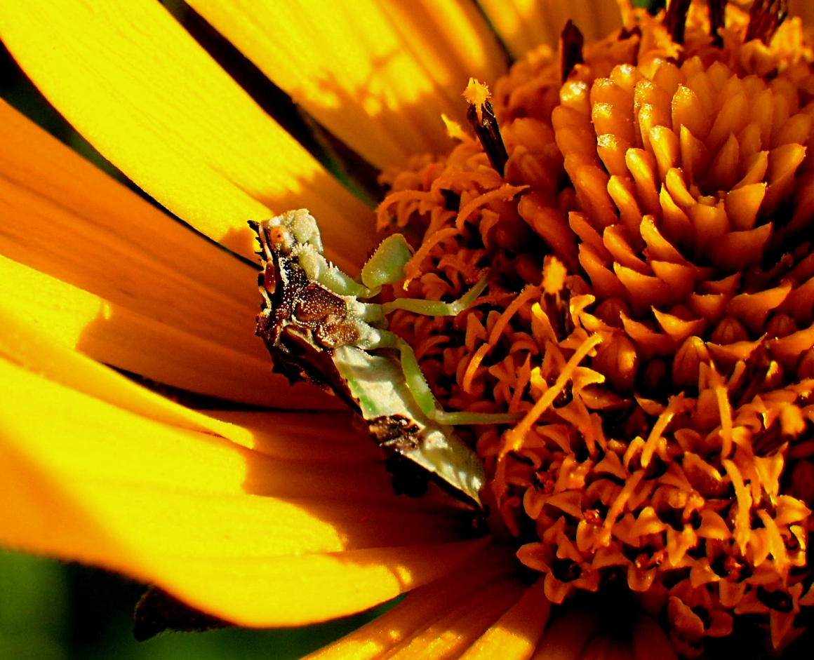Patience is a virtue for a Jagged Assassin Bug in a wild Yellow Daisy Flower.  Photo by Thomas Peace 2014