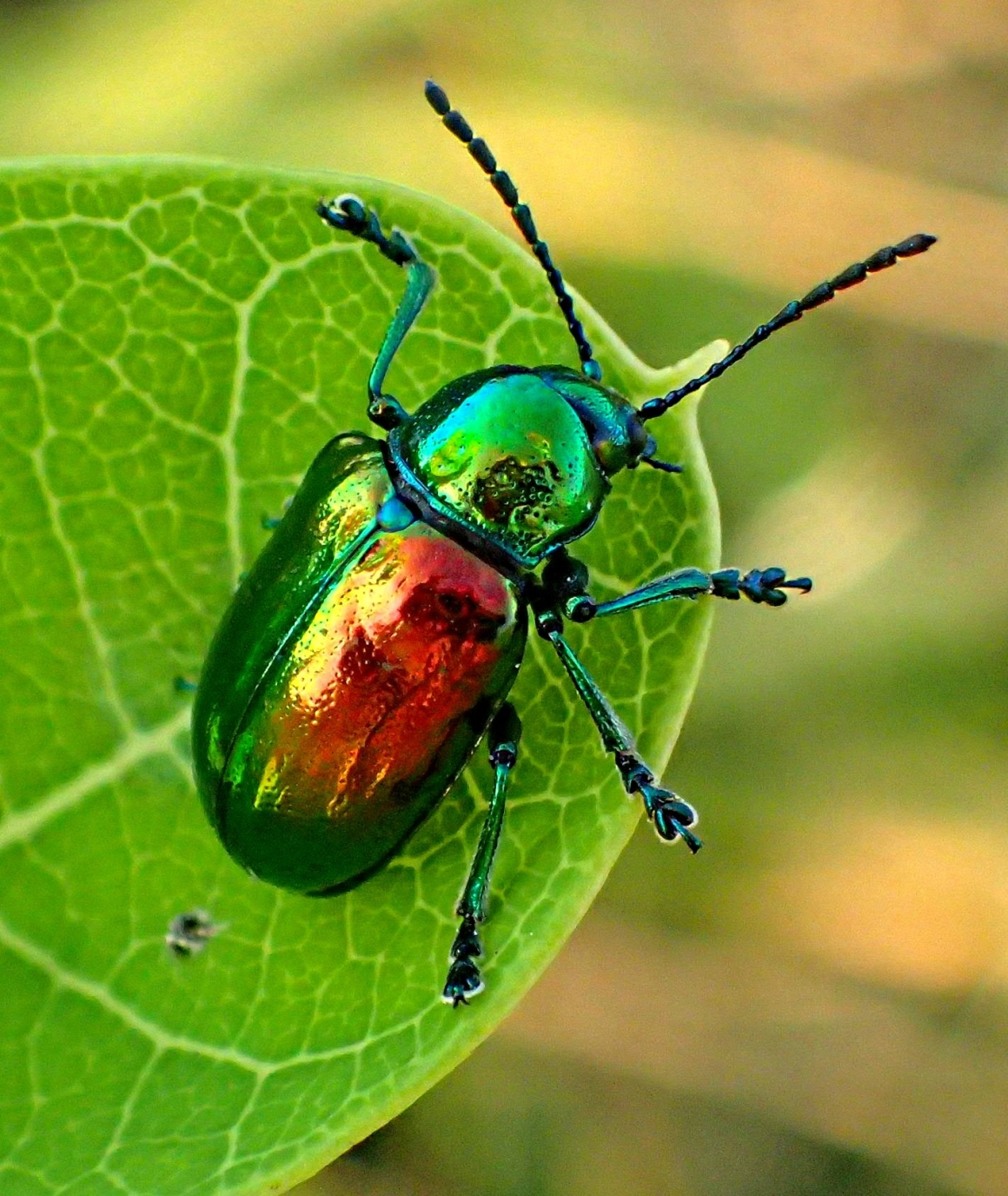 A Dogbane Leaf Beetle with an iridescent sheen that not even Harley Davidson motorcycle gas-tanks are capable of!  Photo by Thomas Peace 2014